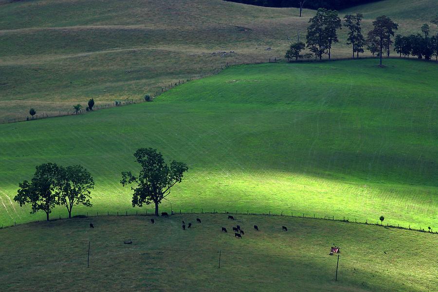 Farm cows grazing in Albemarle County, Va