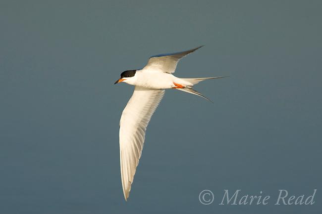 Forster's Tern (Sterna forsteri) breeding plumage, in flight, Bolsa Chica Ecological Reserve, California, USA