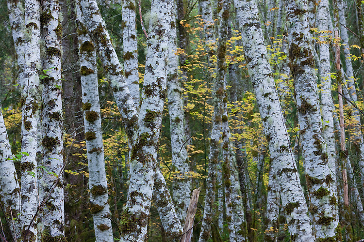 Alder trees in the fall