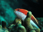Kenting, Taiwan -- A variation of a freckled hawkfish.<br /> <br /> Hawkfish often perch themselves on top of coral branches and survey the reef for potential sources of food.