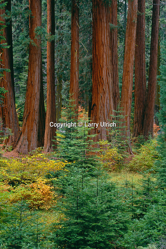 White fir and giant sequoia <br /> Huckleberry Trail,  Giant Forest <br /> Sequoia National Park <br /> Sierra Nevada,  California