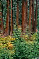White fir and giant sequoia <br />