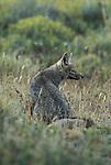 Grey Fox sitting in grass looking sideways
