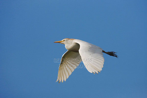 Cattle Egret (Bubulcus ibis), adult in flight, Sinton, Corpus Christi, Coastal Bend, Texas, USA