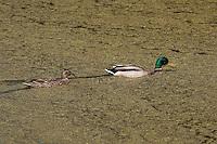 Stockente, Männchen, Erpel und Weibchen, Pärchen, Paar, schwimmen durch Wasserlinsen, Entengrütze, Stock-Ente, Anas platyrhynchos, mallard