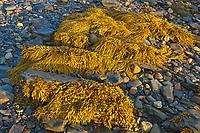 Seaweed (kelp) at low tide onshore of teh Atlantic Ocean, Blue Rocks, Nova Scotia, Canada