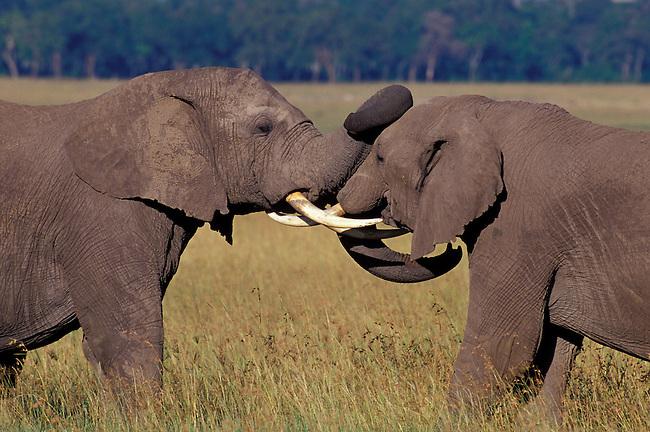 KENYA, MASAI MARA, GRASSLAND, ELEPHANT BULLS (MALES), SPARRING