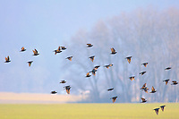 Flock of birds flying over a country field
