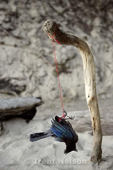 dead bird on string over fire pit, roadkill, Pfeiffer beach; 6.12.2005<br />