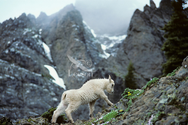 Mountain Goat kid stretching as it prepares to walk up rocky hillside.  Pacific Northwest.  June.