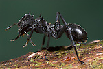 Flat Headed Ant, Cephalotes atratus, Iquitos, Peru, arboreal, glides down back to tree trunk, recent discovery, ability to glide from canopy of forest to tree, jungle, Amazon. .Peru....