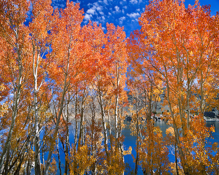 Aspen lining Grant Lake in autumn. Lake is largest of the four lakes on the June Lake Loop, but as a reservior on the Los Angeles Aqueduct system, its level can vary widely. Eastern Sierra Nevada. Mono County, CA.