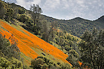 Poppy covered hillsides, Merced River Canyon, Calif.