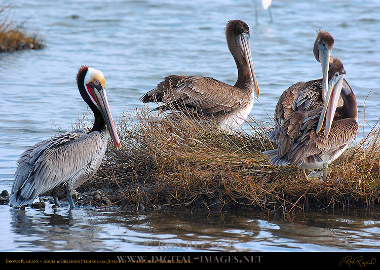 Brown Pelicans, Adult in Breeding Plumage and Juveniles, Bolsa Chica Wildlife Refuge, Southern California