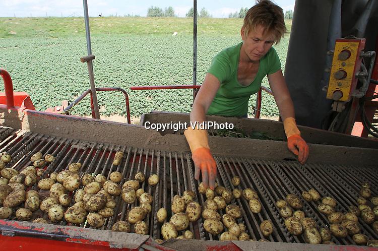 Foto: VidiPhoto..RANDWIJK - Gé en Harmie van Lonkuyzen uit het Betuwse Randwijk zijn dinsdag begonnen met een eerste oogst van de 'volkswagen golf' onder de aardappels, de Frieslander. Deze vroege aardappel is in de Nederlandse huishoudens erg populair, omdat die makkelijk te schillen is en bruikbaar voor vrijwel alle vormen van consumptie. Ondanks de aanhoudende droogte heeft de kwaliteit van de aardappel daar nauwelijks onder te lijden gehad. Wel hebben akkerbouwers daarvoor extra moeten beregenen. Van Lonkuyzen verbouwt acht aardappelrassen, die hij vrijwel allemaal aan huis verkoopt. De eerste oogst gaat in enorme zakken omdat de Frieslander maar beperkt houdbaar is..