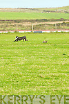 The Hare given (White Collar) Flow on Lovely River a hard time at the Ballyheigue Coursing on Saturday. .. ......................................................   Copyright Kerry's Eye 2008