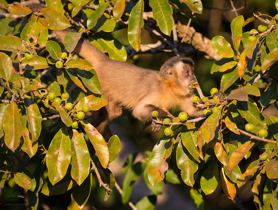 Juvenile male Black-striped Tufted Capuchin monkey (Cebus libidinous), mouth already stuffed with a fig, looks for rivals as he prepares to strip the remainder of the fruit in his vicinity.
