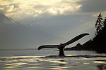 Humpback whale tail in Juneau, Alaska