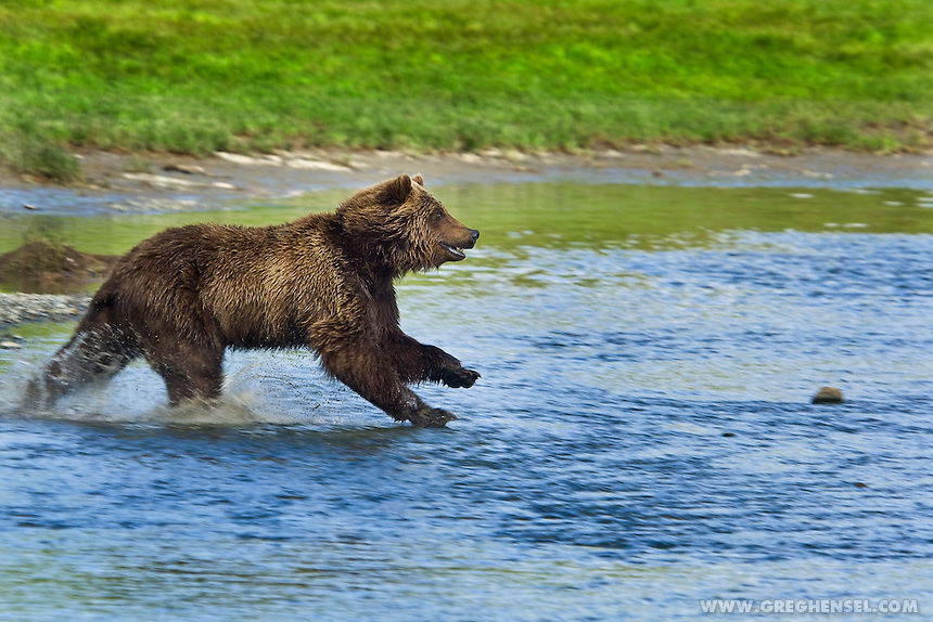 Brown Bear sprinting through shallow water in pursuit of Salmon at Mikfik Creek in Southwest Alaska.