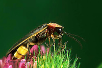 1C24-014d  Firefly - Lightning Bug - Male -  Photinus spp.