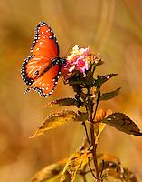 Male queen on lantana