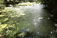 ALGAE BLOOM ON LAKE<br /> Eutrophication<br /> Cultural or anthropogenic eutrophication is water pollution caused by excessive plant nutrients. Runoff from agriculture, urban fields, golf courses as well as sewage contribute these nutrients.