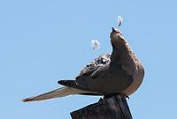 A Mourning Dove, Zenaida macroura, preens its feathers in the Desert Botanical Garden, Phoenix, Arizona