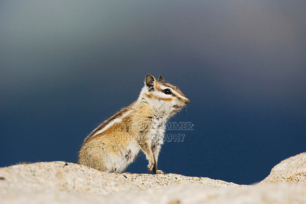 Uinta Chipmunk (Tamias umbrinus), adult, Rocky Mountain National Park, Colorado, USA