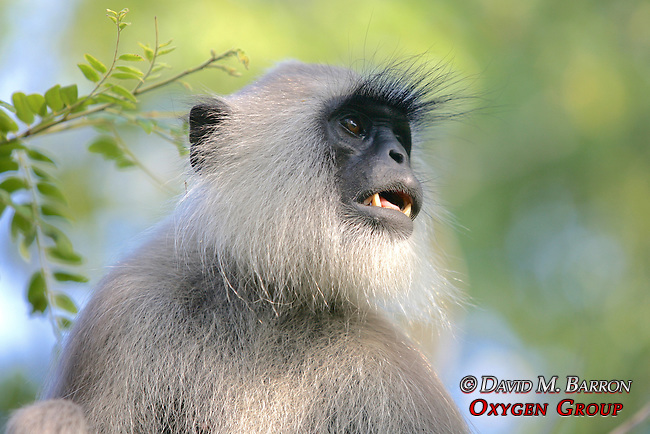 Hanuman Langur Showing Teeth