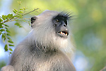 Hanuman Langur Showing Teeth