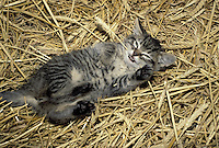 Silly grey tabby kitten lying in straw playing with a white flower, Missouri USA