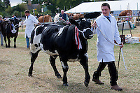 Pedigree winning cattle at Moreton Show, Moreton-in-the-Marsh Showground, The Cotswolds, Gloucestershire, UK