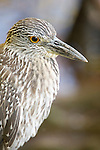 Ding Darling National Wildlife Refuge, Sanibel Island, Florida; an immature Yellow-crowned night-heron (Nyctanassa violacea) bird forages for food at the edge of the mangroves © Matthew Meier Photography, matthewmeierphoto.com All Rights Reserved