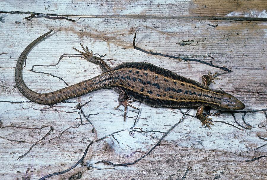 Waldeidechse, trächtiges Weibchen, Mooreidechse, Bergeidechse, Wald-Eidechse, Moor-Eidechse, Berg-Eidechse, Lacerta vivipara, Zootoca vivipara, viviparous lizard, European common lizard