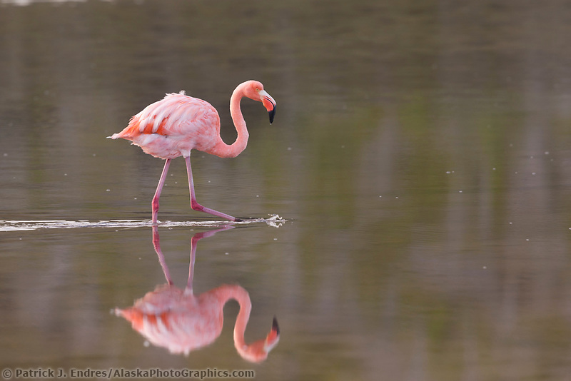 Greater Flamingo (Phoenicopterus ruber), Punto Cormoran, Floriana Island, Galapagos