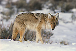 Coyote, Eastern Washington