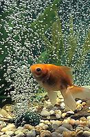 SS04-007x  Bubbles Fan Tailed Goldfish