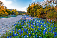 Roadside Bluebonnets  - Bluebonnets along this winding road creates this scenic landscape in the Texas hill country. This is your traditional look of many country roads in the Texas hill country in their natural settings of dirt roads and cedars growing along with the wildflowers.  Some years they are better this year so far they are looking pretty good on some of the back roads we have traveled.  However some of our past spot are not showing well.  What a perfect excuse to keep exploring new places in the hill country.  The Texas lupine can be found through out the state with the southern parts wildflowers out first, and slowly showing up into north texas by the end of April or in some case into may. We also have summer wildflowers so you can almost always find something growing in Texas. Of course this is all dependent on the weather we have in the fall and spring as to when they will pop out or in some years not so much.