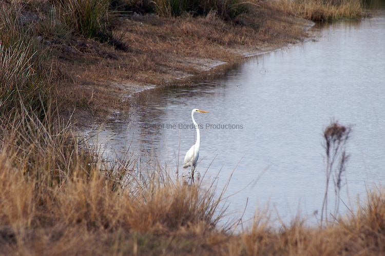 A great egret stalks the edge of a pond looking for lunch.