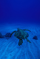 Hawaiian Green Sea Turtle swimming away