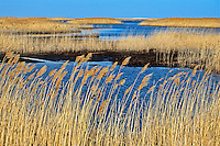 Phragmites australis, blowing in the wind, West Pool, Edwin Forsythe National Wildlife Refuge, New Jersey