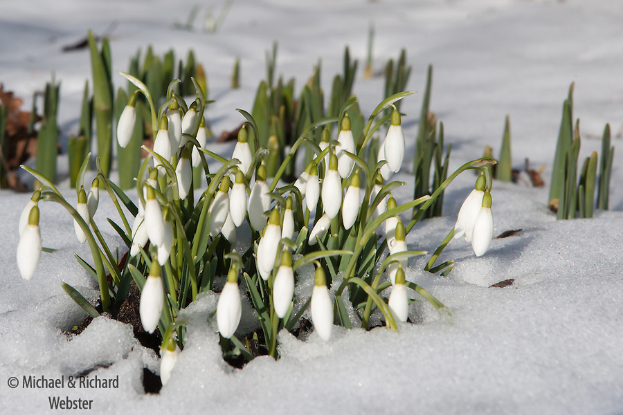 Snowdrops are a harbinger of Spring, a welcome sight to every gardener