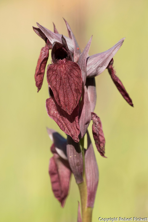 Heart Flowered Tongue Orchid, Serapias cordigera, Castro Verde, Algarve, Portugal