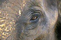 Java Elephant's Eye - Bali