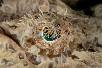 Eye of Crocodile Flathead, Cymbacephalus beauforti, night dive, Paradise II dive site, night dive, Sipadan Water Village House Reef, Mabul Island, near Sipadan Island, Sabah, Malaysia, Celebes Sea