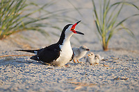 Black Skimmer (Rynchops niger niger), calling adult and downy chicks resting in the sand at dawn.