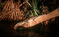 A Freshwater Crocodile in the late afternoon on a tree trunk in Katherine Gorge Northern Territory Australia.<br />