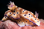 Puerto Galera, Oriental Mindoro, Philippines; a Risbecia tryoni nudibranch moving over a pink sponge