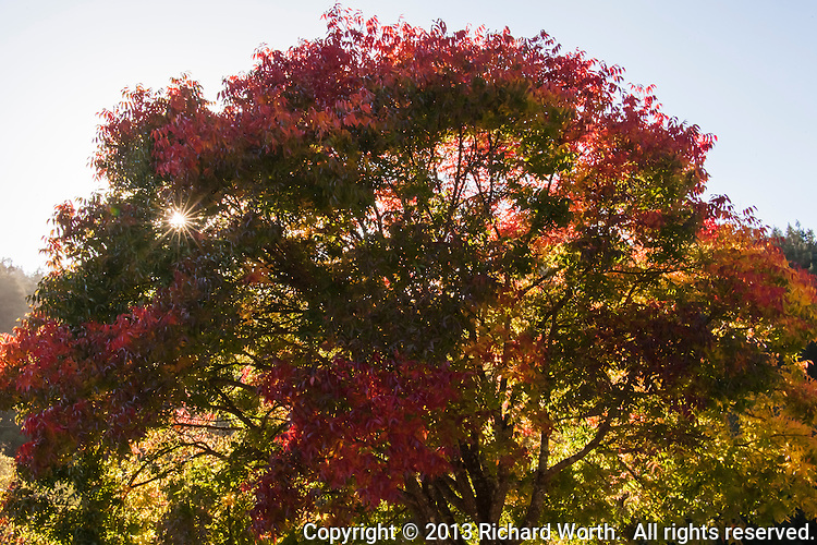 A tree in transition, its leaves green and yellow and full-autumn red, glow with the sun's light, from behind.  Redwood Regional Park, California.