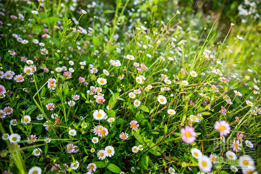 Wildflowers seen during a hike along the Honopu Ridge Trail in Koke'e State Park, Kauai.